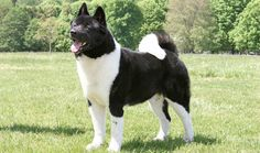 Full Grown Akita
