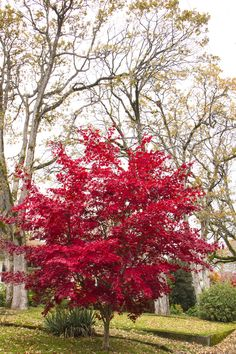 Acer palmatum 'Bloodgood' - Bloodgood Japanese Maple Zone: 5 to 8 Height: 15 to 20 feet Spread: 15 to 20 feet Garden Shrubs, Garden Trees, Garden Swings, Deciduous Trees, Trees And Shrubs, Back Gardens, Outdoor Gardens, Water Gardens, Bloodgood Japanese Maple