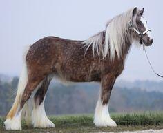 Domaine du Vallon. Just look at those dapples! #GypsyVanner #GypsyCob #horse