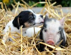 Micro pig and puppy ( Charl Rohland )