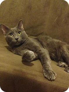 New York, NY - Russian Blue. Meet Grayson, a cat for adoption. http://www.adoptapet.com/pet/18182127-new-york-new-york-cat