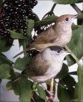 Vogels in de tuin; Kies de juiste beplanting | Dier en Natuur: Vogels