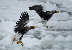 #StelIer_Sea_Eagles - I named this image (Friends for life) - copyrighted - bruna@thrumyafricanlens.co.za