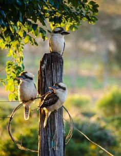 """rustic rural ~ in the land 'down under' ~ """"the kookaburras sit in the old gum tree"""""""