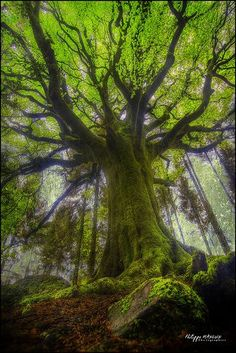~~beech Ponthus is one of the oldest and of the most magnificent trees of Broceliande | Brittany, France by philippe MANGUIN photographies~~