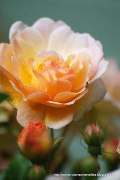 Ghislaine de Féligonde rose - Mon Jardin Mes Merveilles
