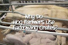 Why Do Hog Farmers Use Farrowing Crates - Nurse Loves Farmer
