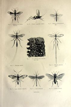Original 1860 antique wasps engraving  by LyraNebulaPrints on Etsy, $24.99