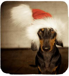 Rocstar and Ralph would like to wish everyone a merry Xmas & happy new year! We will be taking a wee break but back into it in the new year. Be safe and see you in 2013. :) - photo © Serenah Photography via Rocstar Dog Boutique fb page
