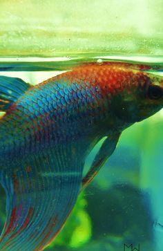 Betta Fish~