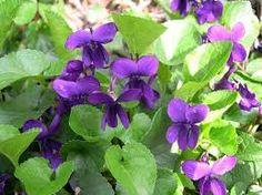 Image result for viola odorata