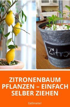 Zitronenbaum pflanzen – einfach selber ziehen | eatsmarter.de