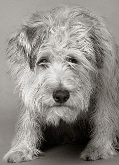 wheaton terrier. Looks like my baby girl :)