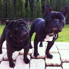 Together with French Bulldog
