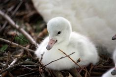 Cygnet born at Cleveland Zoo. Fluffy white baby swan.