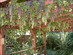 Growing Grapes On The Pergola is easy. Growing grapes on your pergola is easier than you might think. As you know, the grapes can grow completely on Grape Vine Trellis, Grape Vines, Fruit Garden, Edible Garden, Building A Trellis, Grape Plant, Grape Arbor, Garden Of Earthly Delights, Growing Grapes