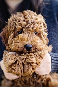 Australian Labradoodle (Lab, Poodle, Cocker Spaniel mix) If it stays this small I WANT it! --- So cute! It looks like a stuffed animal.