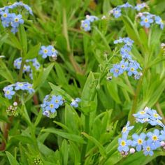 MYOSOTIS SCORPIOIDES (Forget me not - #BritishNative #pond plant) Already green and leafy the Forget me not is growing already in the chilly water of February and will be ready for the #newts to lay their eggs in when they return to the #pond #water soon