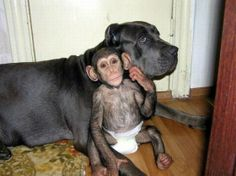 Yo, sup? Just chillin' with my new old lady, bro.  (After a mother chimpanzee who lived in a zoo died, one of the zoo's employees took the baby chimp home to care for it. It never crossed his mind that his dog, who had recently given birth, would adopt the chimp and raise it with her pups.)