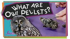 Jessi and Squeaks want to learn about what (and how) owls eat! Time to experiment!