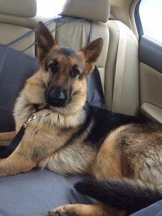 true german shepherd | am your friend, your partner, your defender, your dog.