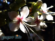 Clerodendro perfumado