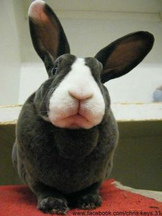 Shouldn't have ate that last Funny Bunnies, Cute Bunny, Cute Baby Animals, Animals And Pets, Giant Bunny, Beautiful Rabbit, Rabbit Pictures, Rabbit Breeds, Bunny Images