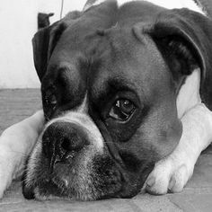 boxer dog photo | Web Boxer Dog Pictures - Boxer Dogs Photos Found on the Web Dog Photos, Dog Pictures, Boxer Dogs, Pugs, Boston Terrier, Cute Animals, Creatures, Angles, Pictures Of Dogs