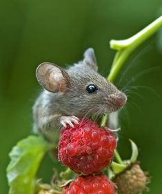 The Raspberry Thief :-) Proof that all of God's creatures are precious, even mice!