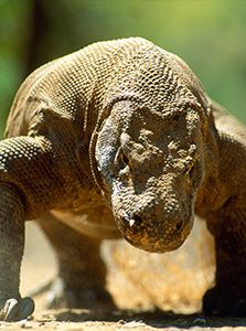 The Komodo dragon is the largest lizard in the world.Adult Komodo dragons can kill prey as large as deer and water buffalo, and this species. Les Reptiles, Reptiles And Amphibians, Mammals, Large Lizards, Monitor Lizard, Komodo Island, All Gods Creatures, Beautiful Creatures, Animal Photography