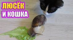Snail VS cat / Любопытная кошка мешает Люську обедать / Curious cat prev...