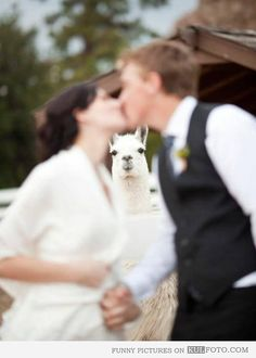 Photo bomb: Llama - Funny wedding photo with llama photobombing.- hahahahahahahah this will be my wedding picture!!!!!!!!!!!!!!!!!!!!!