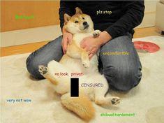 Shibual Belästigung - Much Shiba Such Doge, Wow - Kleinkind Cute Animal Memes, Animal Jokes, Cute Funny Animals, Funny Animal Pictures, Best Funny Pictures, Funny Dogs, Class Memes, Doge Meme, Dog Jokes