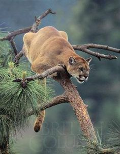 Cougar/Puma Cornered High on a Tree Branch.