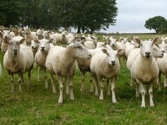 Sheep Photo Credit: https://www.flickr.com/photos/missdee