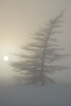 Trees bend in the snow and fog, Gros Morne National Park, Newfoundland, Canada