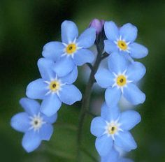 """Forget-me-not.  I quote: """"Legend has it that in medieval times, a knight and his lady were walking along the side of a river. He picked a posy of flowers, but because of the weight of his armour he fell into the river. As he was drowning he threw the posy to his loved one and shouted """"Forget-me-not."""""""
