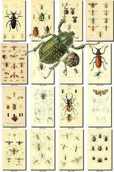 INSECTS-91 Collection of 238 vintage illustration Beetles bugs icus, Earinus, Echinomyia, Ectinus, Electrophina, Enchoptera, Entimus, Entylia, Episus, Erebia, Eristalis, Euchroa, Eucorynus, Eudiagagus, Eugnamptus, Eugonus, Eulina, Euoplia, Euplecnema, Euproctis, Eurhynchus, Eurybrochis, Eustales, Eutrachelus, Exophthalmus, Exoprosopa, Exops, Exosoma, Fabricia, Formica, Galerita, Gastroxides, Gnamptodon, Golofa, Gymnognathus, Hadromerus, Haliplus, Hamma, Hapal