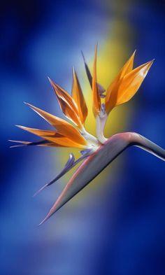 Bird of Paradise. I love tropical flowers! Tropical Flowers, Exotic Flowers, Amazing Flowers, Beautiful Flowers, Purple Flowers, Beautiful Person, Flowers Bunch, Have A Beautiful Day, Unique Flowers