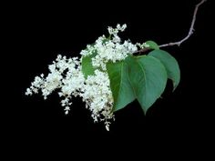 Japanese Lilac Information: What Is A Japanese Lilac Tree - Japanese tree lilac is available as a multi-stemmed shrub or a tree with a single trunk. Both forms have a lovely shape that looks great in shrub borders or as specimens. Find tips for growing them in this article.