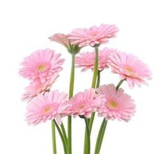 supra gerbera my favorite flower :)