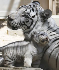 A white tiger sits with one of her cubs at Tobu Zoo in Miyashiro, nea. - Maria Fernanda Reynoso - A white tiger sits with one of her cubs at Tobu Zoo in Miyashiro, nea. A white tiger sits with one of her cubs at Tobu Zoo in Miyashiro, near Tokyo. Zoo Animals, Cute Baby Animals, Animals And Pets, Funny Animals, Wild Animals, Animals And Their Babies, Mother And Baby Animals, Animal Babies, Beautiful Cats