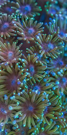 Goniopora or flowerpot coral