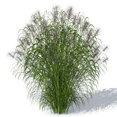 This #Artlantis #object is modeled to simulate the Grassplant as close as possible. The latin name is Miscanthus chinensis. Available in the plant section of Artlantismedia.com.