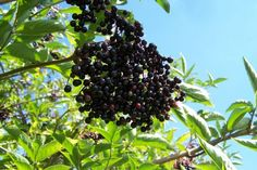 Spiced Elderberry Jelly - make in the Autumn all ready to stir into hearty casseroles and gravies.