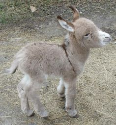 Baby donkey. I got to hold a week-old one once. They are surprisingly soft and affectionate. The adults beg at the table like a dog, it's the cutest.