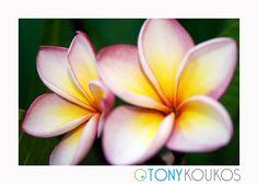 flower, vibrant, colour, colourful, petals, texture, nature, bud, Thailand, islands, pink, fuchsia, yellow, travel, art, photography, Tony Koukos, Koukos, EXO006C-A