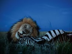 Lion feasting on a zebra by Michael Nichols