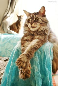 Blake — Maine Coon, black silver blotched tabby