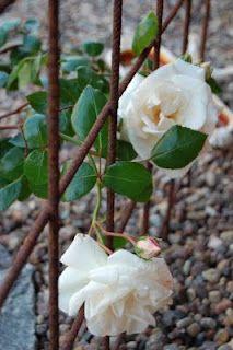 New Dawn och armeringsjärn. Outdoor Gardens, Flowers, Outdoor Inspirations, Outdoor, Plants, Herbs, Magnolia, Garden Inspiration